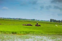 HOI WIETNAM, MARZEC, - 17, 2017: Mężczyzna w Wietnam często przejażdżce wodny bizon podczas gdy gromadzący się ono obrazy stock