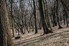 Hoia Baciu - преследовать лес, Румыния стоковое изображение