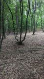 Hoia-Baciu skog Royaltyfria Bilder