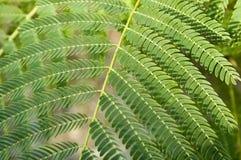 Hoja 1 del Mimosa foto de archivo