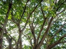 Hoja abstracta del primer del árbol grande en la salida del sol Imagen de archivo