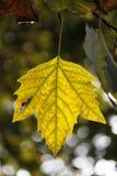 Hoja amarilla Imagen de archivo libre de regalías
