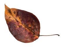 Hoja amarilla caida putrefacta del otoño del manzano imágenes de archivo libres de regalías