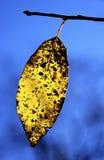 Hoja amarilla de la caída en ensenada de los cades del contraluz de la mañana imagen de archivo libre de regalías