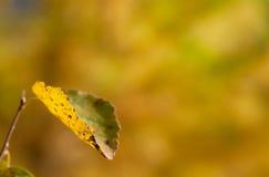 Hoja amarilla del álamo temblón Imagenes de archivo