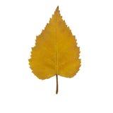 Hoja amarilla del abedul del otoño Fotos de archivo libres de regalías