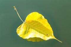 Hoja amarilla del bodhi que cae abajo en el río Imagenes de archivo