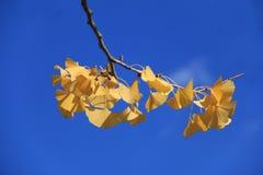 Hoja amarilla del Ginkgo y cielo azul Foto de archivo