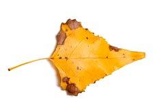 Hoja amarilla del otoño del álamo en el fondo blanco Imagen de archivo libre de regalías