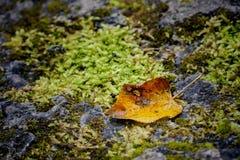 Hoja amarilla del otoño entre texturas de la piedra y del musgo Imagen de archivo libre de regalías