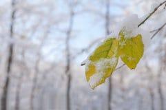 Hoja amarilla escarchada del invierno estacional con nieve en rama del bosque Fotos de archivo libres de regalías