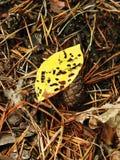 Hoja amarilla hermosa en el bosque con los agujeros de gusano, Lituania Foto de archivo libre de regalías