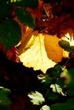 Hoja amarilla que brilla intensamente en el sol que muestra sus venas Imagenes de archivo