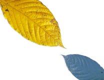 Hoja amarilla y azul aislada fotos de archivo libres de regalías