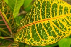 Hoja amarilla y verde colorida del Croton imagen de archivo