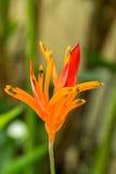 Hoja amarilla y verde colorida del Croton Imágenes de archivo libres de regalías