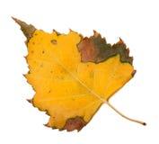 Hoja amarilleada del otoño del abedul Fotos de archivo