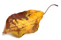 Hoja amarilleada secada del otoño Imagenes de archivo
