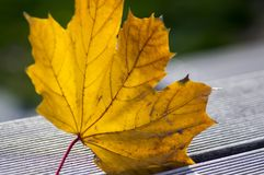 Hoja anaranjada brillante en la hierba, haciendo excursionismo, hoja de arce del otoño contra la luz del sol Fotografía de archivo libre de regalías