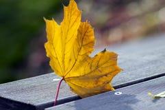 Hoja anaranjada brillante en la hierba, haciendo excursionismo, hoja de arce del otoño contra la luz del sol Imagen de archivo