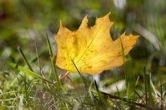 Hoja anaranjada brillante en la hierba, haciendo excursionismo, hoja de arce del otoño contra la luz del sol Fotos de archivo