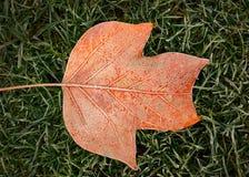 Hoja anaranjada congelada de un árbol de tulipán Fotografía de archivo libre de regalías