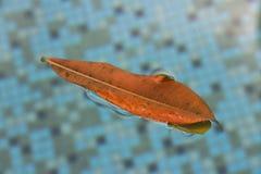 Hoja anaranjada en el agua que flota necesidades ingrávidas de ser limpiado y de ser quitado imagen de archivo