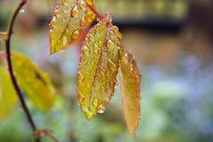 Hoja anaranjada maravillosa con gotas de lluvia imagenes de archivo
