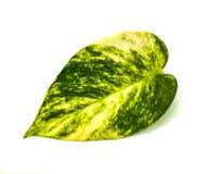 Hoja bonita con tonos verdes y amarillos fotografía de archivo libre de regalías