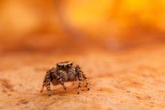 Hoja brillante de salto del otoño de la araña Foto de archivo libre de regalías