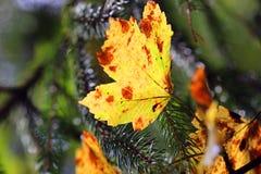 Hoja brillante del otoño Imagen de archivo libre de regalías