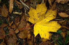 Hoja caida amarilla grande en una tierra en la trayectoria de la montaña, otoño en la montaña de Bobija Imágenes de archivo libres de regalías
