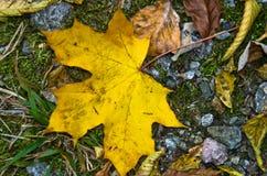 Hoja caida amarilla grande en una tierra en la trayectoria de la montaña, otoño en la montaña de Bobija Imagen de archivo