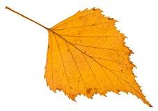 hoja caida del amarillo del otoño del árbol de abedul aislada Fotografía de archivo