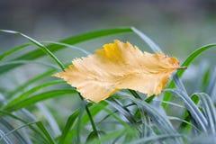 Hoja caida en la hierba del bosque Fotos de archivo