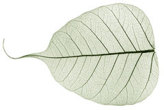 Hoja caida secada transparente verde Imagen de archivo libre de regalías
