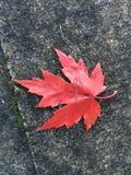 Hoja coloreada caída solitaria Imagen de archivo libre de regalías
