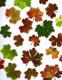 Hoja coloreada del geranio Imagen de archivo libre de regalías