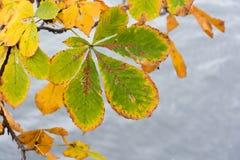 Hoja coloreada otoño de la castaña en el río Foto de archivo