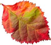 Hoja colorida Foto de archivo libre de regalías