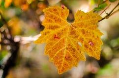 Hoja colorida de la vid en la temporada de otoño Imagen de archivo libre de regalías