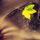 Hoja colorida del otoño La hoja de arce rota colorida caida en piedra hundida del basalto en el agua borrosa de la corriente de l Foto de archivo libre de regalías