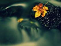 Hoja colorida del otoño Náufrago en piedra mojada del deslizador en corriente Fotos de archivo libres de regalías