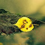 Hoja colorida del otoño Náufrago en piedra mojada del deslizador en corriente Foto de archivo libre de regalías