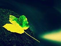 Hoja colorida del otoño Náufrago en piedra mojada del deslizador en corriente Imagen de archivo libre de regalías