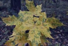 Hoja colorida r del verde de la naturaleza de las hojas de otoño de la flor del coleo de la belleza de la hiedra del color del ex Fotografía de archivo