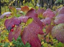 Hoja colorida r del verde de la naturaleza de las hojas de otoño de la flor del coleo de la belleza de la hiedra del color del ex Imagen de archivo libre de regalías