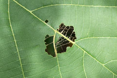 Hoja con los agujeros, comidos por el insecto imagen de archivo