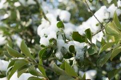 Hoja congelada del verde de la rama de árbol cubierta con nieve Fotografía de archivo libre de regalías