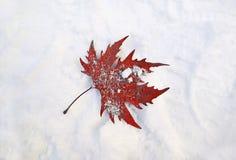 Hoja congelada roja caida en la nieve Foto de archivo libre de regalías